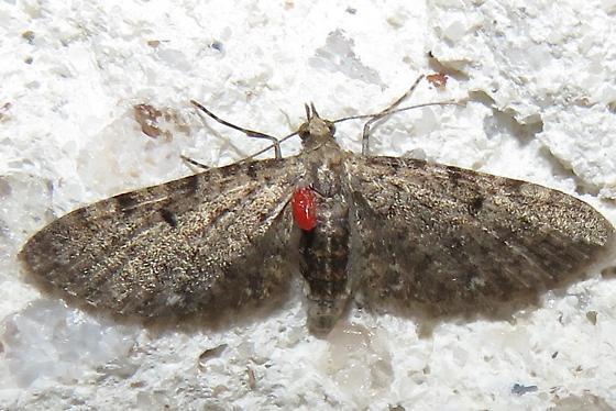 Parasite on moths
