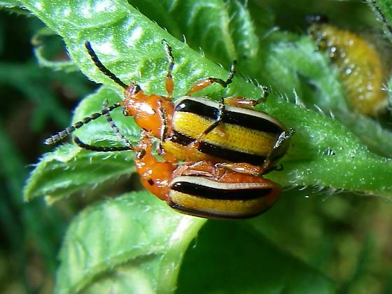A type of cucumber beetle - Lema daturaphila - male - female
