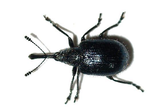 Haplorhynchites maybe pseudomexicanus - Haplorhynchites pseudomexicanus