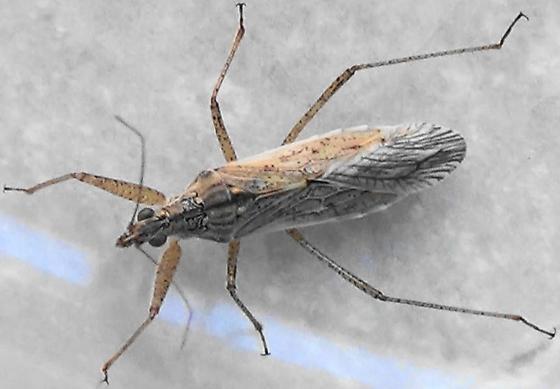 Southwestern Damsel Bug - Nabis - female
