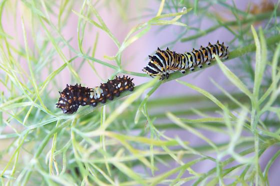 Black Swallowtail caterpillars - Papilio polyxenes