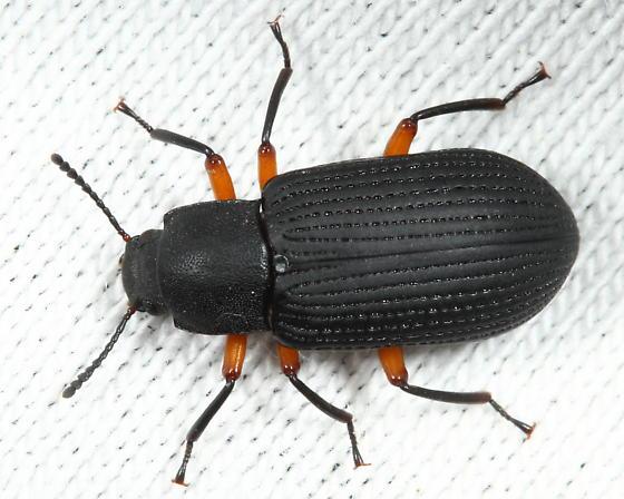 Tenebrionid - Haplandrus fulvipes