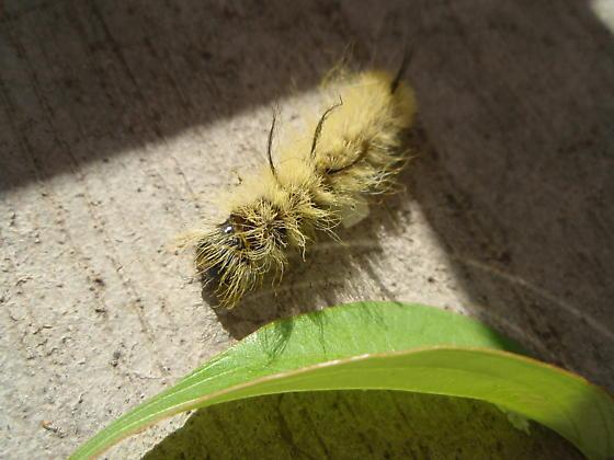American Dagger Moth? - Acronicta americana