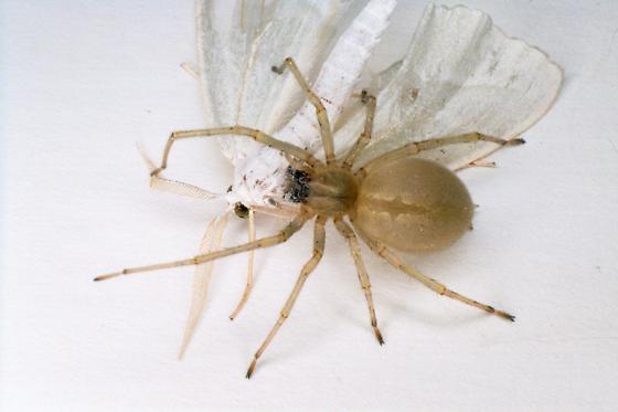 Sac Spider - Cheiracanthium mildei - female