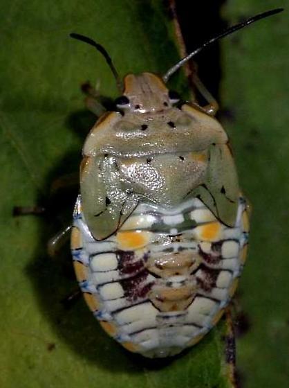 Unk Stink Bug Nymph - Chinavia marginata