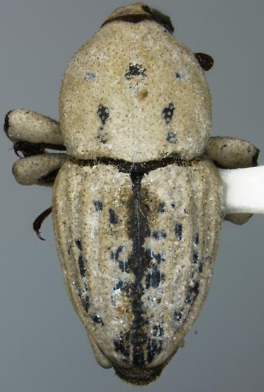 Sphenophorus cazieri