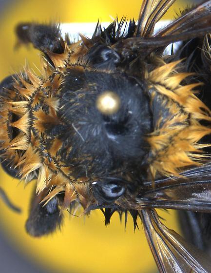 Bumblebee - Bombus borealis