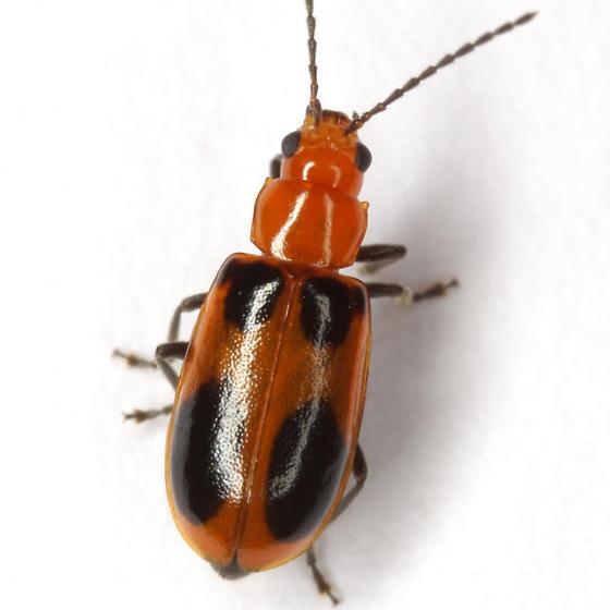 Malacorhinus acaciae (Schaeffer) - Malacorhinus acaciae - female