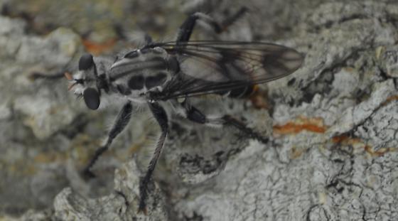 Fly - Andrenosoma xanthocnemum - female