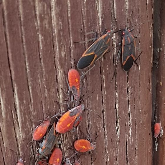 Unknown bug - Boisea rubrolineata