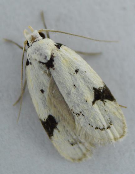 Black-marked Inga Moth  - Inga sparsiciliella