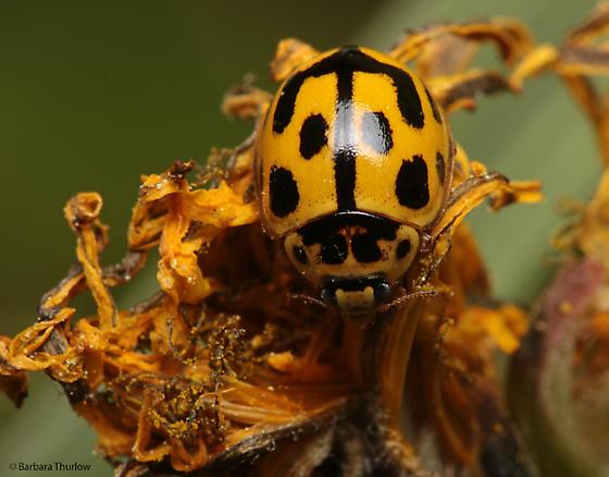 Ladybug for ID - Propylea quatuordecimpunctata