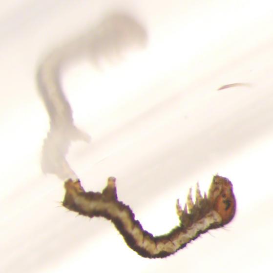 Geometridae, larva - Anavitrinella pampinaria