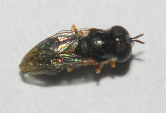 Syrphidae 2 - Paragus haemorrhous