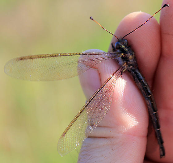 Owlfly - Ascaloptynx appendiculata - male
