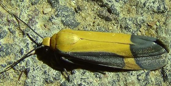 Angel Lichen Moth Encounter - Cisthene angelus