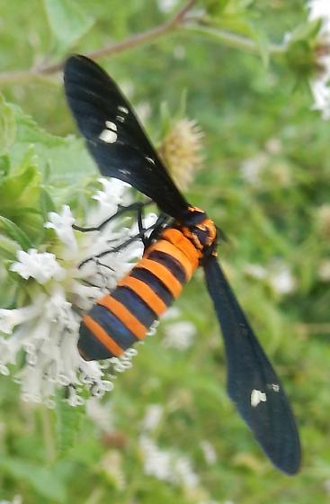 Orange-and-black striped (moth?) - Syntomeida ipomoeae