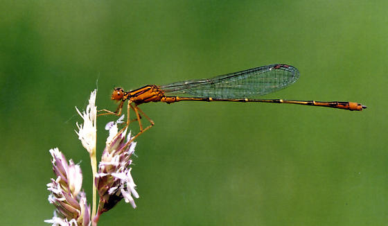 Orange Bluet - Enallagma signatum - male