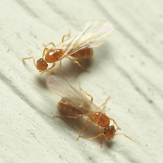 Some More Unusual Behaviour By Unknown Ants - Brachymyrmex depilis - female