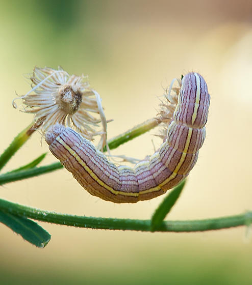 caterpillar on wild aster - Cucullia