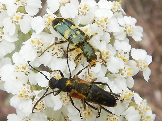 Green and yellow beetle - Anastrangalia laetifica