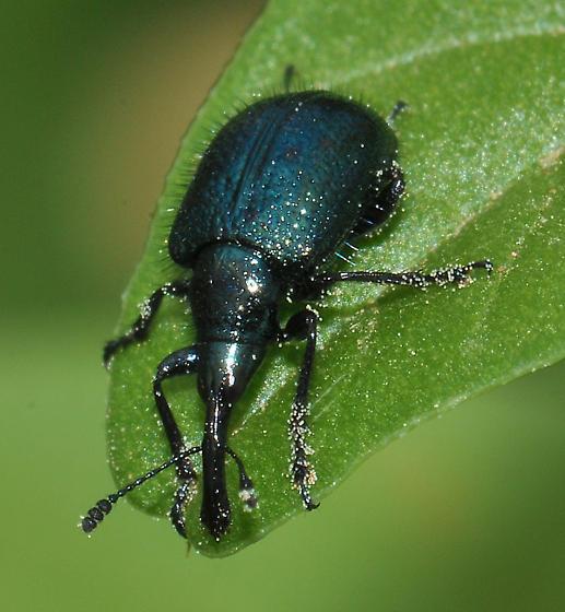 Magdalis lecontei? - Haplorhynchites pseudomexicanus