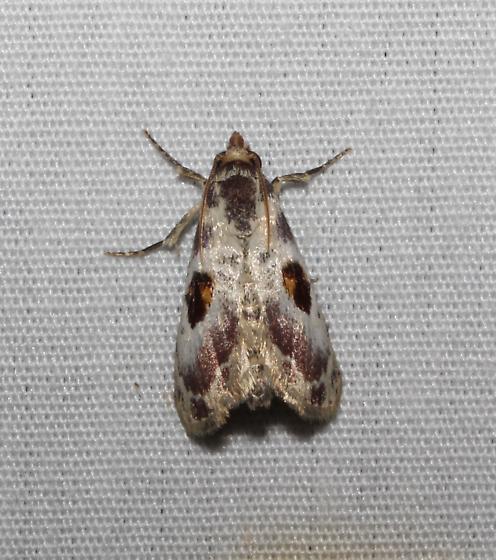 5628 – Thyridopyralis gallaerandialis - Thyridopyralis gallaerandialis