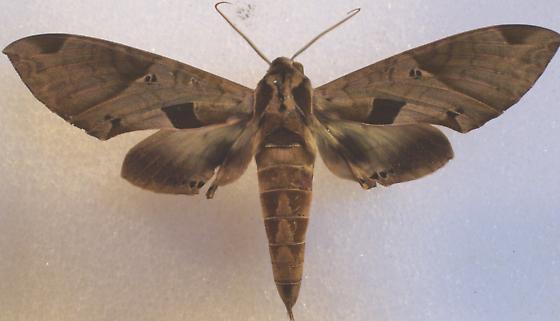 Eumorpha satellita - Eumorpha satellitia
