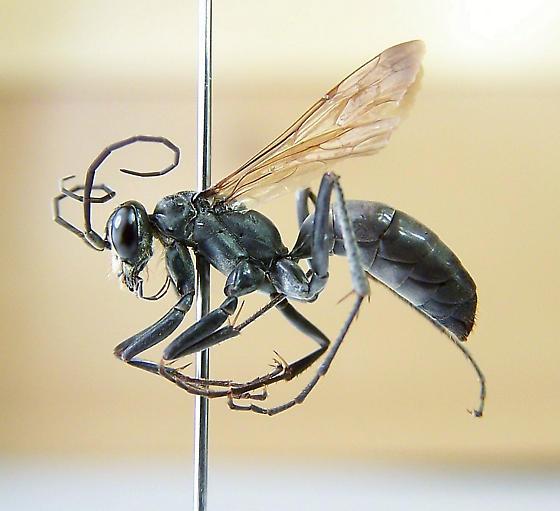 Ageniella fulgifrons - female