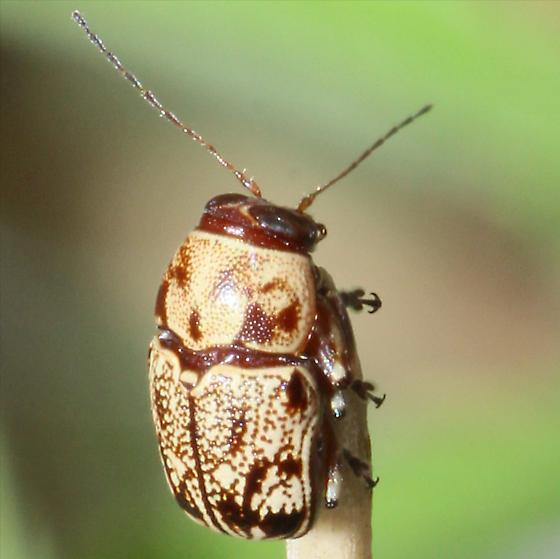 Scriptured Leaf Beetle - Pachybrachis