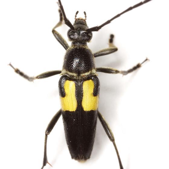 Typocerus lunulatus texanus Linsley & Chemsak - Typocerus lunulatus