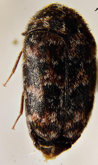 carpet - Trogoderma - female