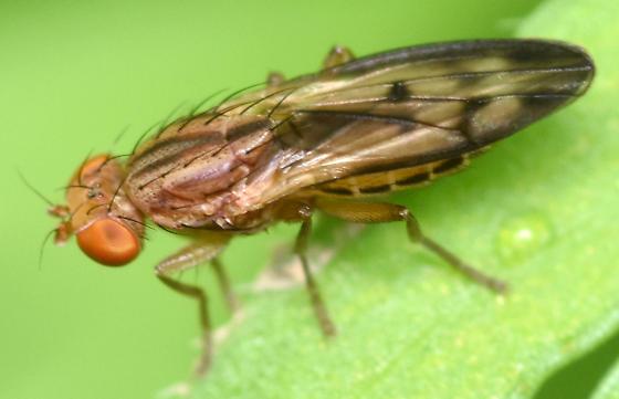 opomyzid fly - Opomyza petrei - female