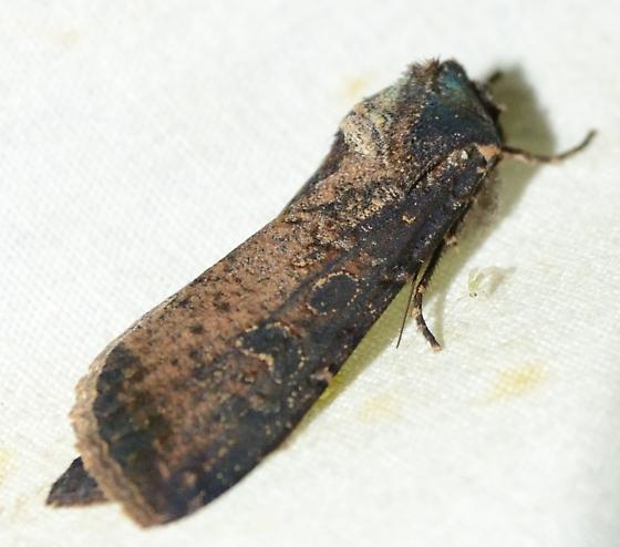 Cutworm? - Peridroma saucia