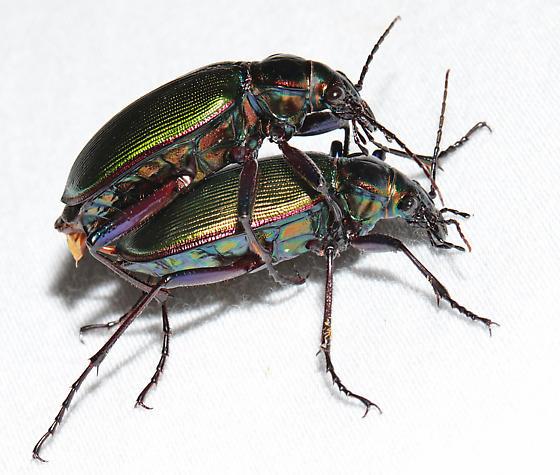 Calosoma wilcoxi - male - female