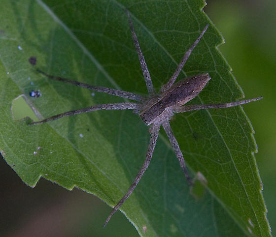 Spider on Thoroughwort Leaf - Pisaurina mira