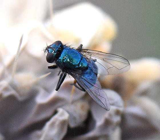 shiny blue fly - Neomyia cornicina