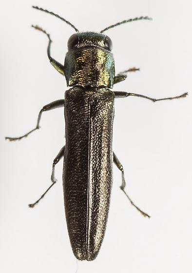 Beetle - Agrilus egenus