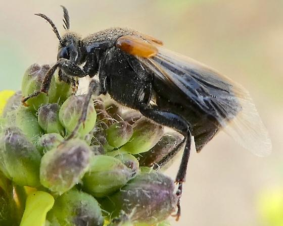 Winged Insect - Ripiphorus - female