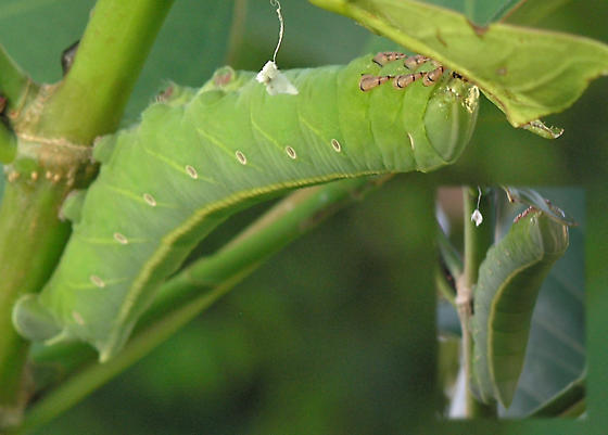 Bright green caterpillar - Pachylia ficus