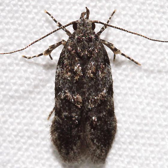 Pubitelphusa latifasciella