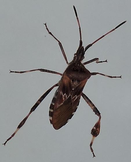 Western Conifer Seed Bug (dorsal) - Leptoglossus occidentalis