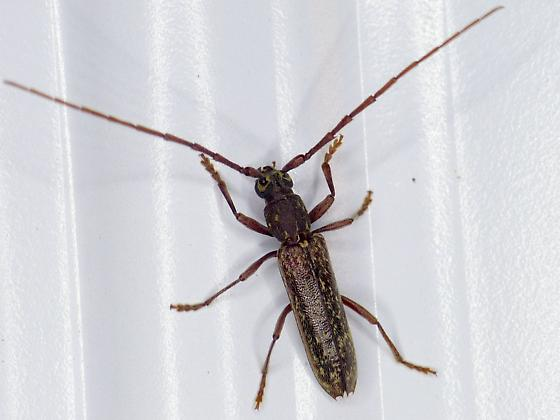 unknown cerambycid - Anelaphus villosus