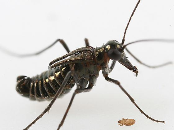 B. brumalis? - Boreus brumalis - male