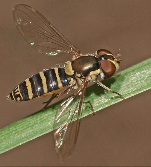 Flower fly - Sphaerophoria sp.?? - Fazia micrura