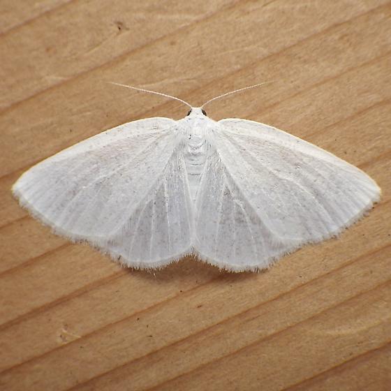 Geometridae: Cabera variolaria - Cabera variolaria