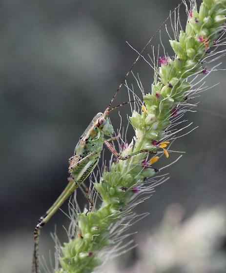 katydid ? very colorful - Scudderia mexicana