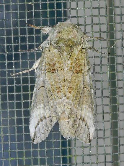 Texas SE Gulf Coast - Heterocampa astartoides