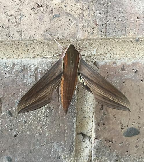 Found this beautiful moth on the back porch this morning (9/6/17) in Aledo, TX- 10 miles west of Fort Worth. A cool morning. - Xylophanes tersa