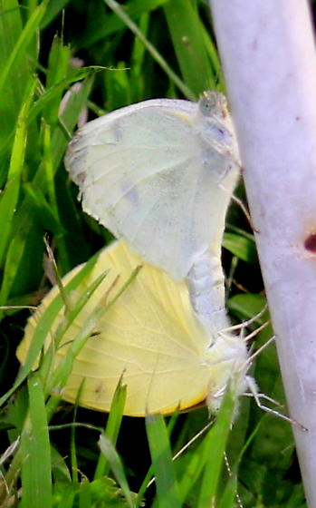 Light colored mating butterflies - Pieris rapae - male - female